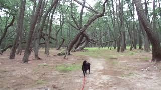 前回の海から松林に移動(*^^*)ここも人がいないので、ロングリードを使...