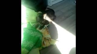 Поющий кот (оп эруина)