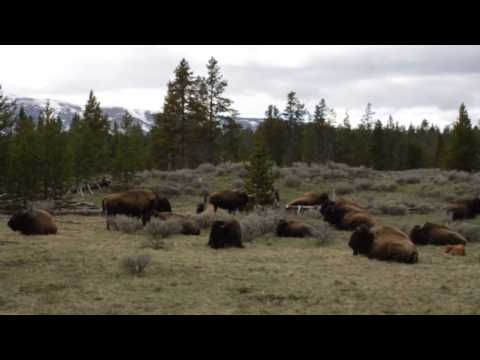 USA - Bison family resting in Yellowstone National Park (20150509)