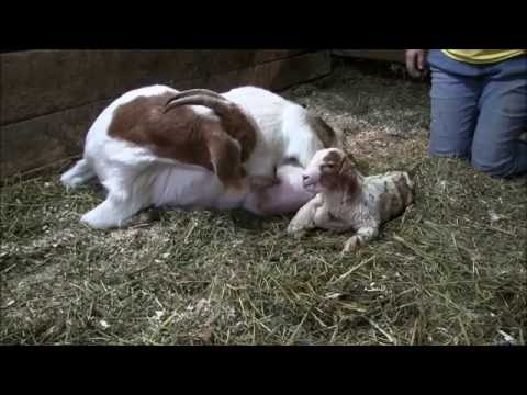 Birth of Lucy's Triplets