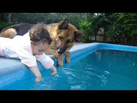 Impressed' German Shepherd dogs who desperately protect human children