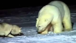 Бедный белый медведь получает от собаки(Встреча белого медведя и собаки. Собака покусала медведя, а тот явно не в настроении воевать. Постоянная..., 2013-10-10T15:59:13.000Z)