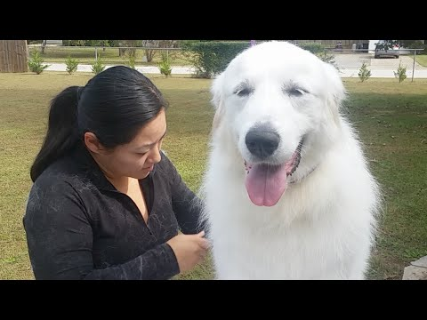 Brush out and Carding For A Great Pyrenees