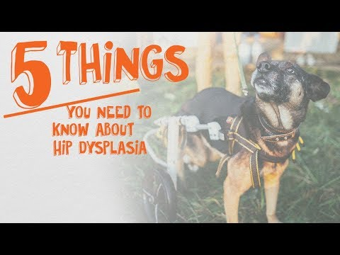 5 Things You Need to Know About Hip Dysplasia -- Cone of Shame with Dr. Andy Roark