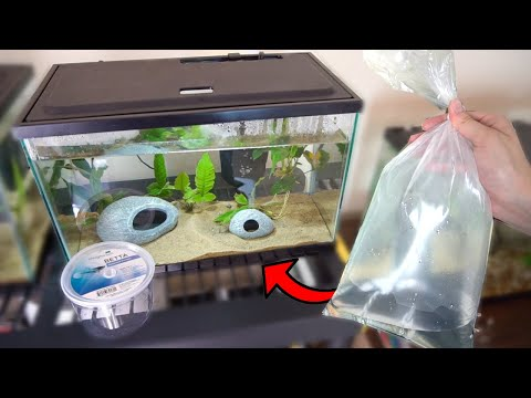BETTA FISH Meets NEW Albino TANK MATES!! (GONE WRONG)