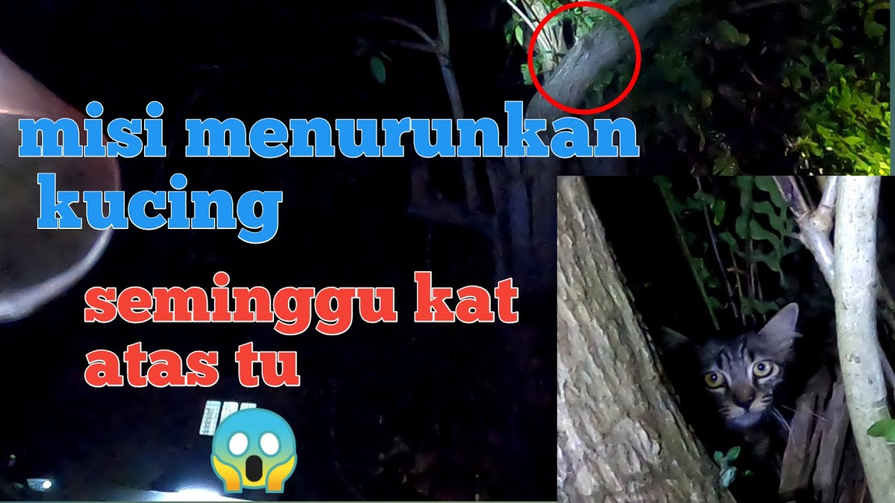 apa ko buat atas tu sayang oi | khidmat khas kucing atas pokok