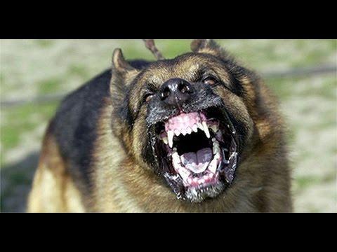 Le loup : un danger réel pour l'homme - Page 2 Hqdefault