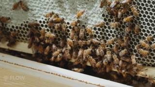How to triple protect your flow hive from bears (video)