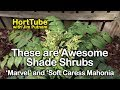 These are Awesome Shade Shrubs - Marvel and Soft Caress Mahonia