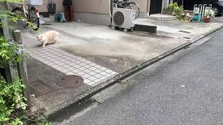 令和2(2020)年4月19日14時41分頃。 最初の保護猫「ちゃめ」は 脱走しては、ご近所の庭先に向かう。 そういえば 「ちゃめ」を 平成2...
