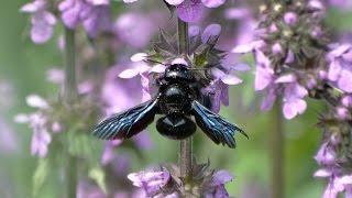 Пчела-плотник. Пчела из Красной книги. ( Xylocopa valga )