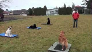 Nova Scotia Duck Tolling Retriever - Enzo.m4v