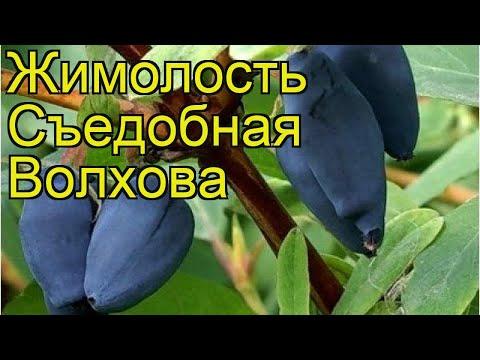 Жимолость съедобная Волхова. Краткий обзор, описание характеристик lonicera edulis Volhova