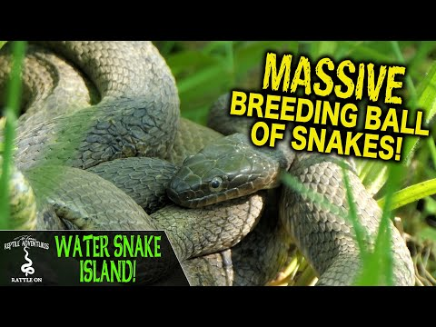WATER SNAKE ISLAND! MASSIVE BREEDING BALL OF SNAKES!