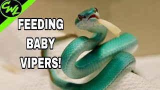 FEEDING MY BLUE VIPERS!!!