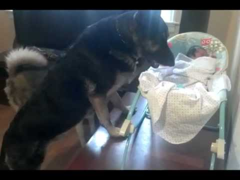 German Shepherd Protecting Newborn Baby!