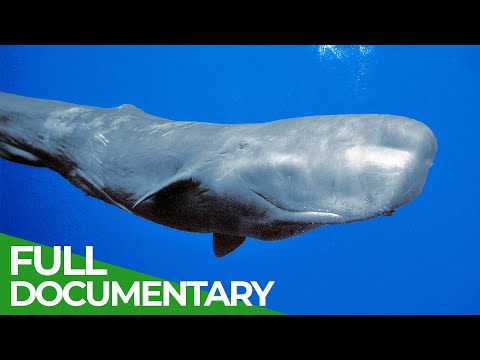 Sperm Whales - Titans of the Deep | Free Documentary Nature