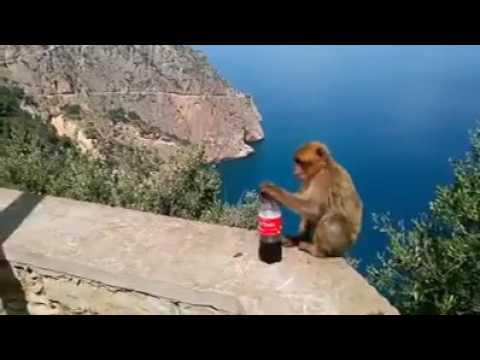 تعرف علي القرد جزائري حير العالم