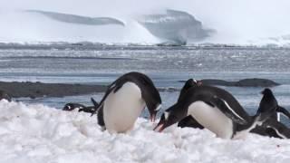 Thieving Penguins in Antarctica