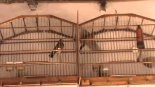 feme de azulão disputando canto com macho e fogosa pra outra