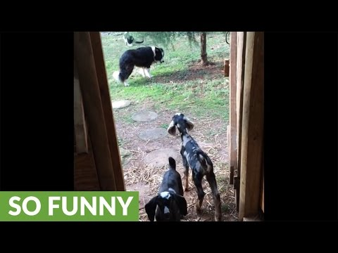 Baby goat opens door, gets stopped by Border Collie