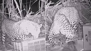 Night Video Shows Mama Leopard Reuniting With Her 3 Cubs thumbnail