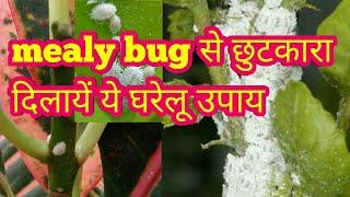 How to get rid of mealybug,organic pesticide, मिलीबग से छुटकारा दिलायें ये घरेलू उपाय