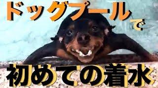ミニチュアピンシャー の 仔犬 リッキー と 初めての プールへ行きまし...