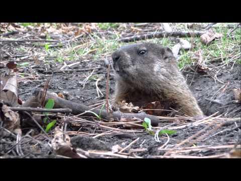 Groundhog a k a woodchuck waukesha wisconsin usa for Woodchuck usa