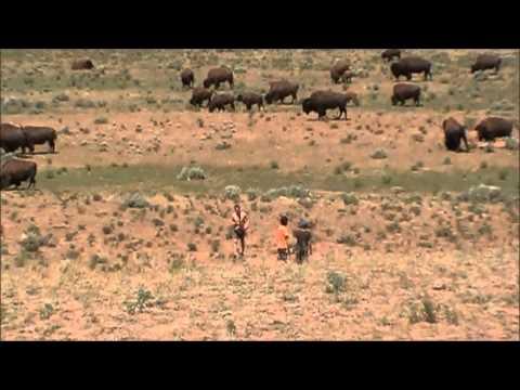 yellowstone bison watching