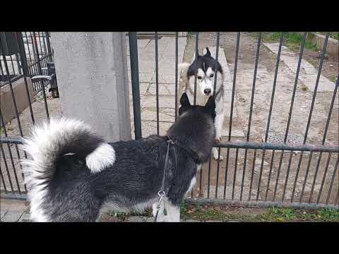 Alaskan Malamute once again visits a Siberian Husky