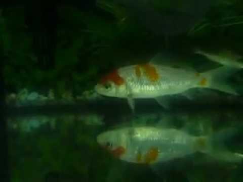 Koi fish is male or female youtube for Male koi fish