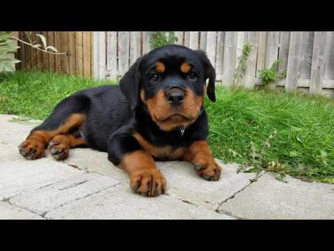 9 Week Rottweiler Puppy