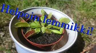 Maailman helpoiten hoidettava lemmikki - Dionaea Muscipula