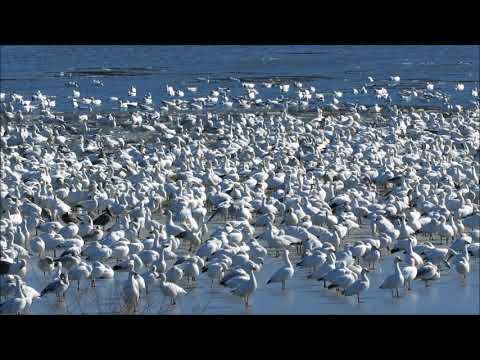 First sign of Spring! The Snow Geese are back