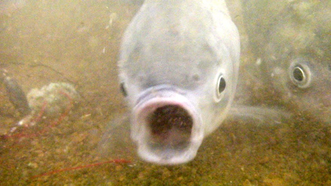 へらぶなと鯉の吸い込み仕掛け【水中動画】 - YouTube