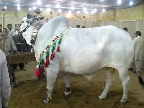 dilpasand ki cow 2009 - YouTubeQurbani Cow 2009