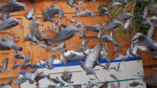 The flock of Pigeons flying off from the feeding area in Jaipur