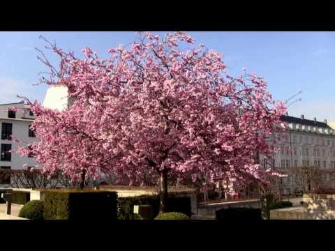 Springtime At Langelinie, Copenhagen - 200 Japanese Cherry Trees Blossoming