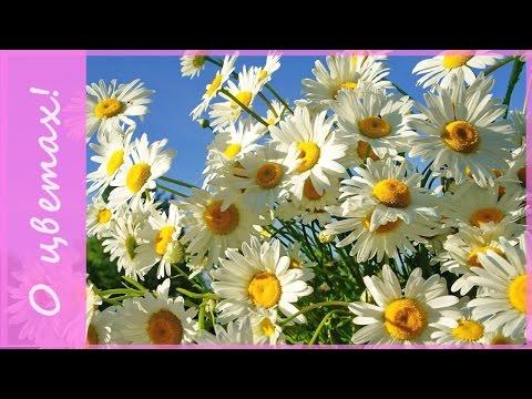 Неприхотливые садовые цветы: ромашка или нивяник? Какие цветы для сада выбрать? Что посадить в саду?