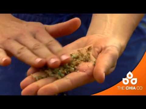 Чиа (растение) — Википедия