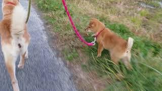 山陰柴犬の子犬モモがリンおばさんと初めての散歩。大はしゃぎです(笑)