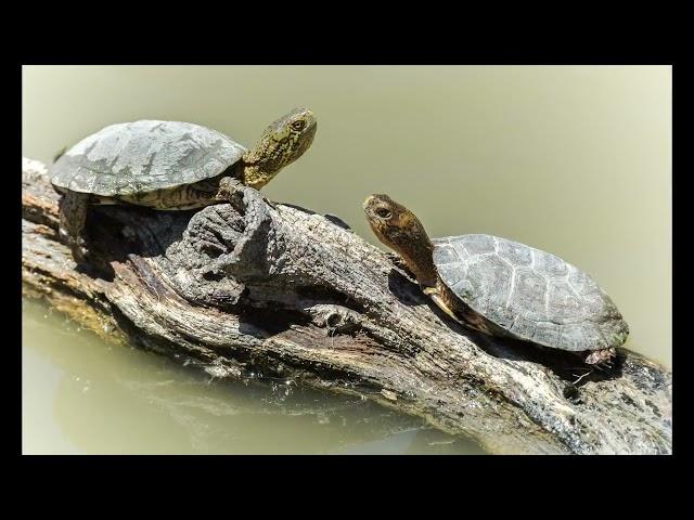 Detroit Zoo   Western Pond Turtle (Animal Welfare Tales)