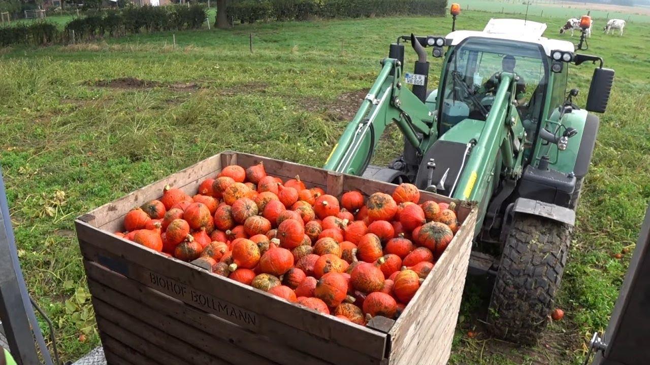 Pompoen Oogst En Verwerking Pumpkin Harvest Trekkerweb