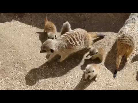 Thumbnail: Meerkat Pups at Adelaide Zoo Take First Steps Outside of Burrow