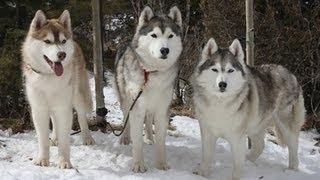 I Got A Siberian Husky ! - Puppy Story