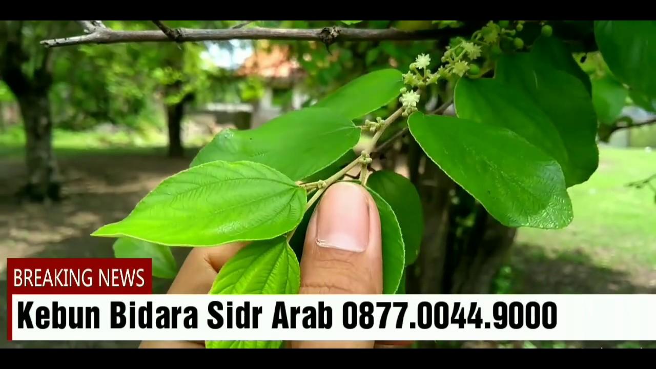 Ciri Daun Bidara Arab Kebun Bidara Sidr Arab Youtube
