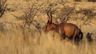 hartebeest vs wild dogs