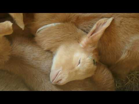 Goat kid dreaming