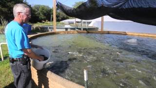Fish farm owner feeds trout to his gator
